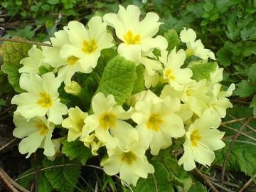 primula-vulgaris